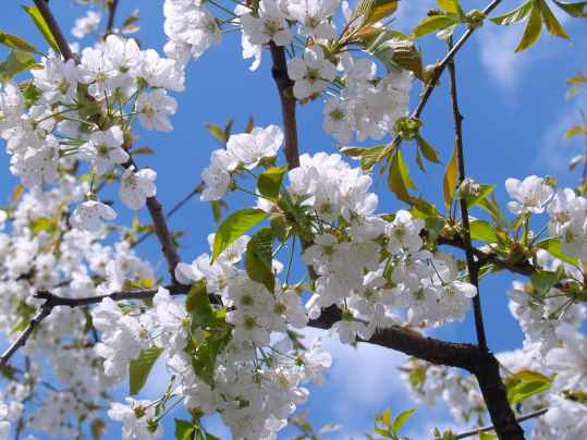 cherry-blossom-white-sky-bloom-48133.jpeg